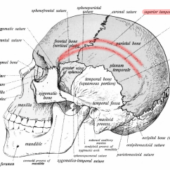Bones Of The Skull Anterior View Diagram 2006 Chevy Colorado Trailer Wiring Temporal Line - Wikipedia