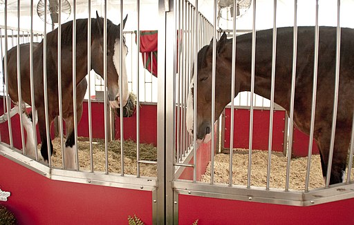 Two of the Budweiser Clydesdales - The Big E, 2014-09-24