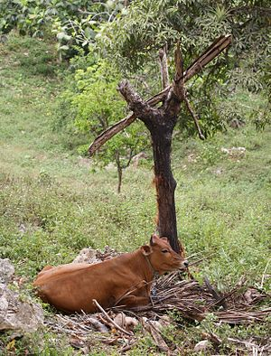 Cow of at road side in residential area of the...