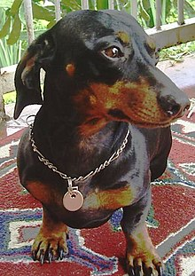 Dachshund  Simple English Wikipedia the free encyclopedia