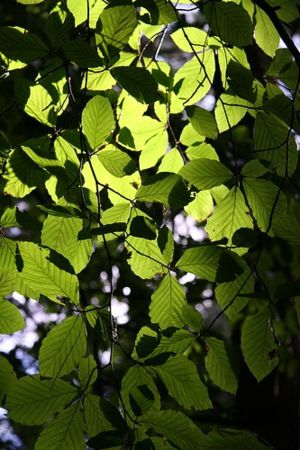 Chlorophyll gives leaves their green color and...