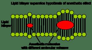 English: bulky and hydrophobic anesthetic mole...