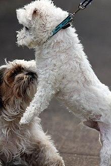 Maltese Dog Wikipedia