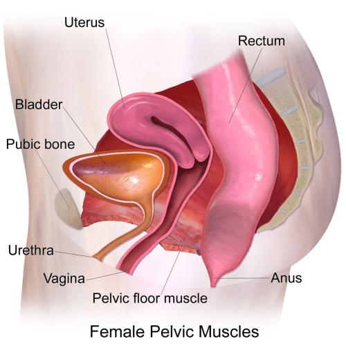 small resolution of diagram lower pelvi