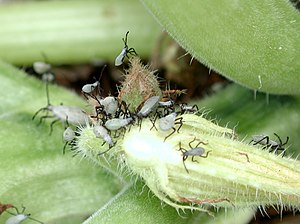 English: Squash bug nymphs (Anasa tristis). Photo courtesy Wikipedia