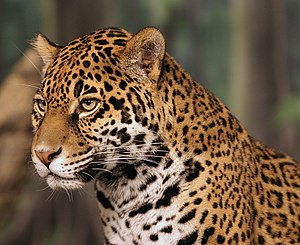 A portrait of a jaguar (Panthera onca...