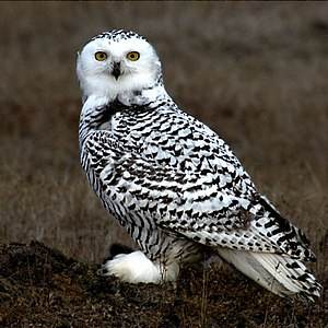 Young Snowy Owl on the tundra at Barrow Alaska.