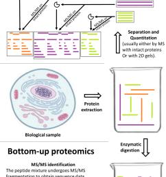 protein digestion diagram [ 1200 x 2085 Pixel ]