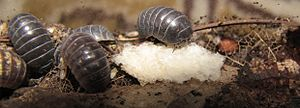 Various woodlice (including babies) on leaves ...