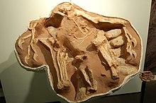 Citipati osmolskae'ya ait yuva örneği için bakınız; Amerika Doğa Tarihi Müzesi New York