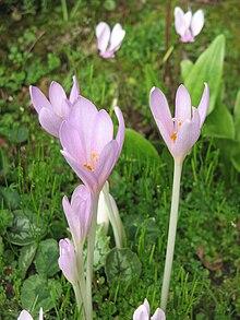 Colchicum autumnale  Wikipedia