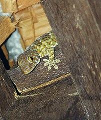 De tokeh (Gekko gecko) via Wikimedia Commons