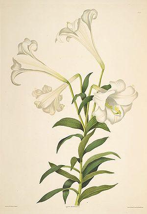 Easter lily (Lilium longiflorum) Deutsch: Oste...
