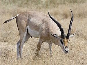 Grant's Gazelle (Gazella granti) in the Ngoron...
