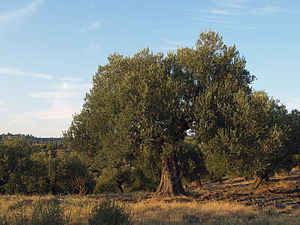 English: Olive Tree from Greece, Sithonia Бълг...