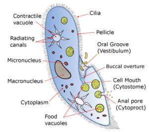 Paramecium  Wikipedia