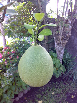 English: Fruit on tree; from the Philippines