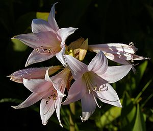 Amaryllis belladonna flowers. Photographed in ...
