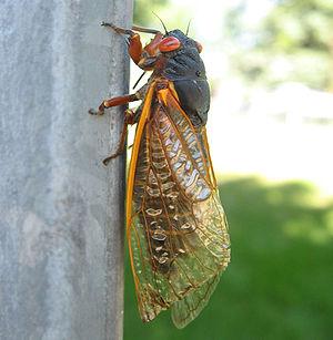 Cicada found in Chicago, IL, USA