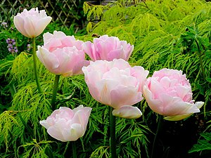 English: Double pink tulips and filigree acer....