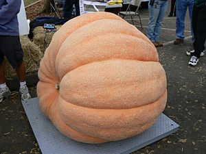 pumpkin at a competitive weigh-off in California.