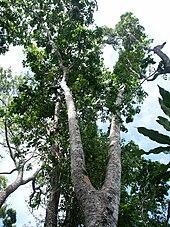 Merbau  Wikipedia bahasa Indonesia ensiklopedia bebas