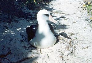 A Laysan Albatross on nest