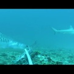 Tiger Shark Life Cycle Diagram Wiring For Dimmer Switch Wikipedia File Reef Fidelity And Migration Of Sharks
