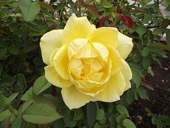 English: Rosa 'Mellow Yellow' at the Inez Gran...