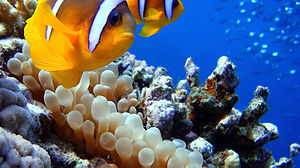 Clown fish at Sharm El Naga beach