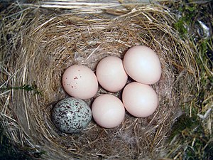 English: Eastern Phoebe (Sayornis phoebe) nest...