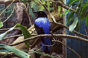 Fairy bluebird