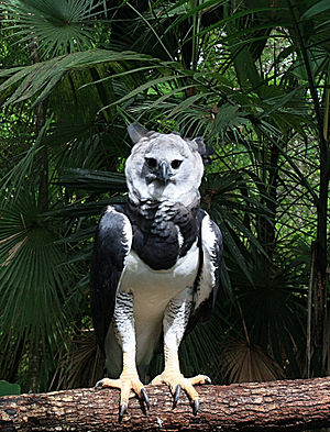 A Harpy Eagle in Belize.