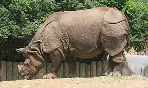 The Buffalo Zoo's Indian Rhinoceros.