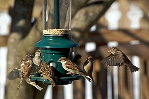 House Sparrows at a garden bird feeder in Mary...