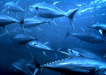 English: Yellowfin tuna (Thunnus albacares) in...