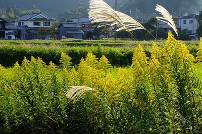 2016-10-15 Solidago canadensis,IN Sasayama,Hyogo セイタカアワダチソウ(篠山市) DSCF1299