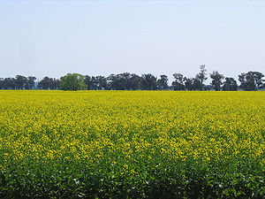Canola field in Temora, New South Wales