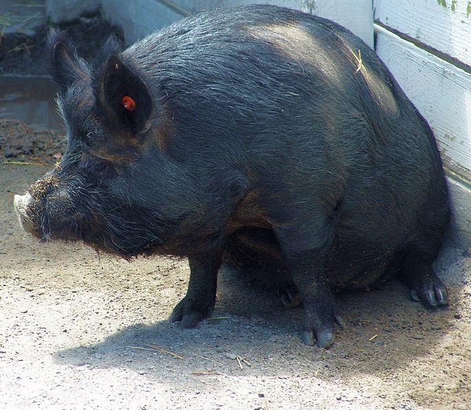 File:Guinea Hog Norfolk.jpg