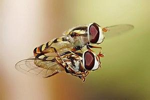 Hoverflies (Simosyrphus grandicornis) mating i...
