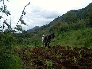 English: Nahua man of Morelos plowing a bean field