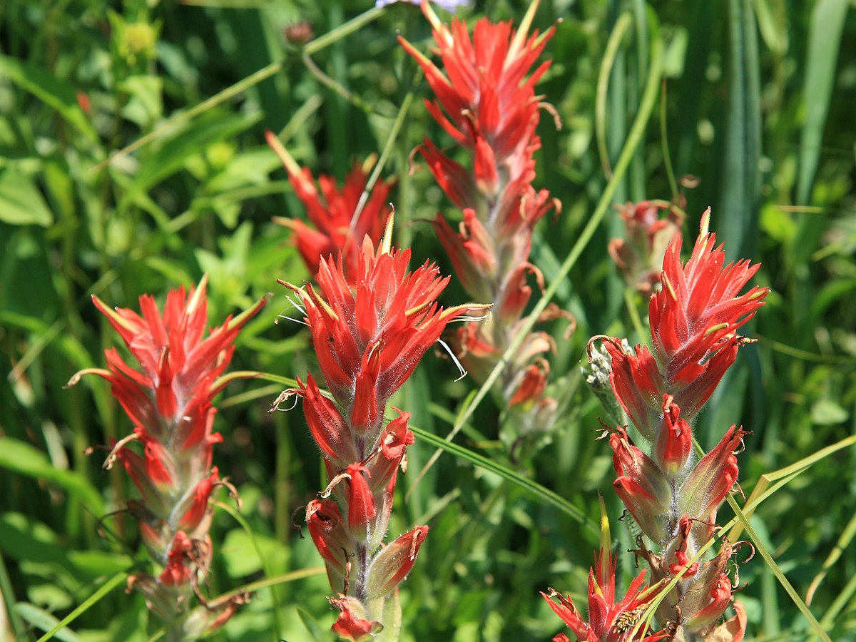Indian Paint Brushes Field