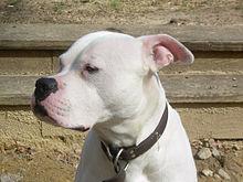 220px Scott type American Bulldog Dog Pitbull Video