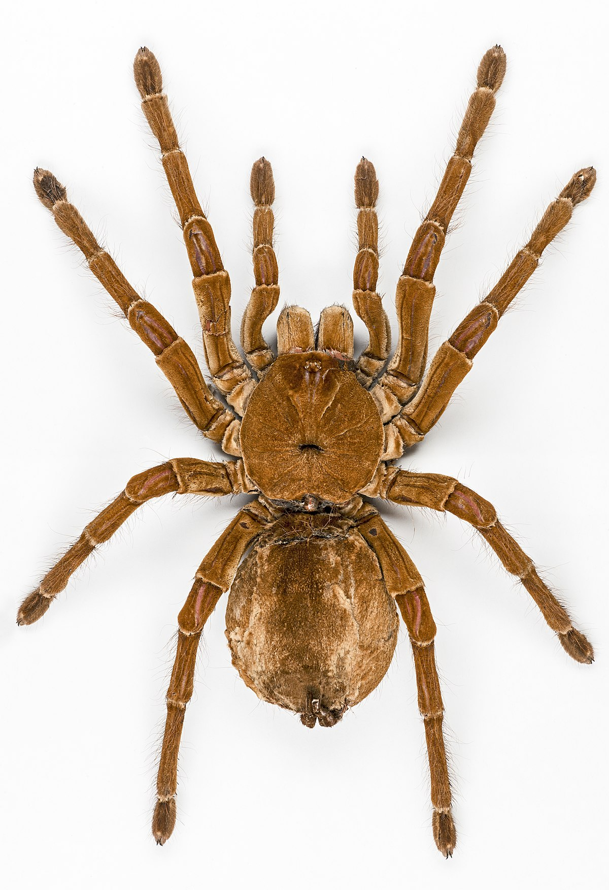 Goliath Birdeater  Wikipedia