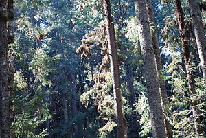 English: Monarch butterflies in the trees and ...