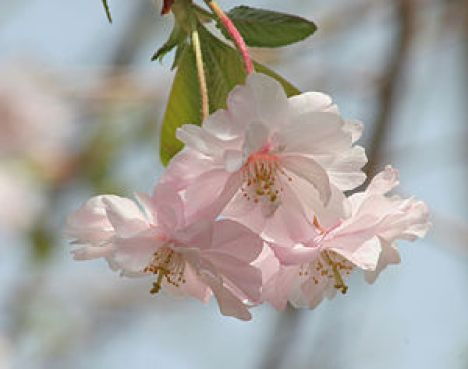 Double-flowered Cherry Blossoms