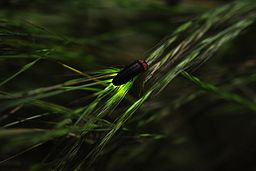 Firefly ホタル 蛍 Hotaru