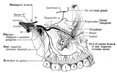 trigeminal nerve diagram john deere l130 wiring wikiwand distribution schemes of the