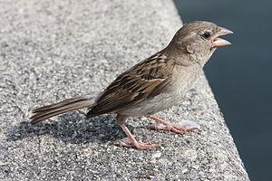 English: House Sparrow Deutsch: Haussperling S...