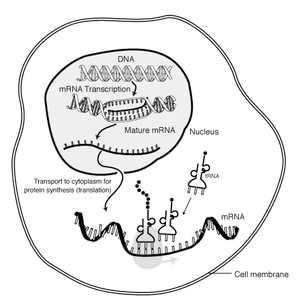 Description: The interaction of mRNA in a cell...
